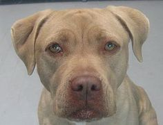 *DANA-ID#A689946    Shelter staff named me DANA.    I am a female, yellow Labrador Retriever mix.    The shelter staff think I am about 2 years old.    I have been at the shelter since Dec 18, 2012.