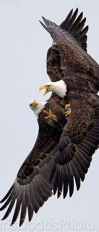 Bald eagles fight over a fish in midair near Homer, Alaska