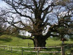 Le chêne des Bosses, Châtillon (Suisse)   Krapo arboricole