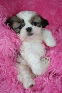 IMPERIAL SHIH TZU PUPPIES-WILL BE UNDER 6 POUNDS FULL GROWN! GORGEOUS