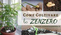 Come coltivare lo zenzero in casa? Lo zenzero si può coltivare in vaso o nell'orto con successo, ecco una guida completa per la coltivazione dello zenzero
