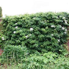 Buy climbing hydrangea Hydrangea anomala subsp. 'petiolaris': Delivery by Crocus