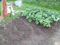 My potatoes on the allotment a couple of years ago.