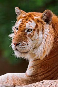 Golden tabby tiger - the result of a combination of recessive genes.  There are possibly fewer than 30 golden tabby tigers.
