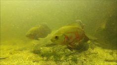 astronotus ocellatus biotope aquarium