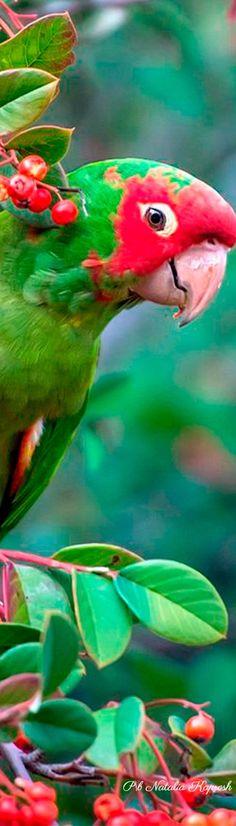 Nature of Australia; Parrot