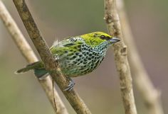Speckled Tanager (Tangara guttata) Adult perched.