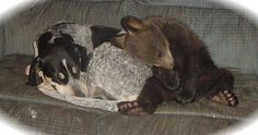 A German short-haired pointer and a bear cub sleeping on the couch.  Well sure, why not?