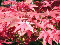 2 Acer Palmatum Osakazuki Japanese maple plug plant Autumn Scarlet Red Tree