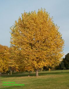 silver maple  | <Behind Storage Shed>
