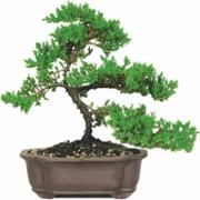 /ip/Green-Mound-Juniper-Bonsai-Tree/38363115