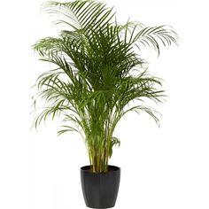 Arekapalme 24 cm - Plantasjen.no