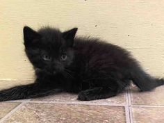 NYACC ** URGENT** 2ND CHANCE** PRECIOUS BABY ALERT** TO BE DESTROYED 7/21/14 Manhattan Center  My name is GUISSY. My Animal ID # is A1006894. I am a male black amer sh mix. The shelter thinks I am about 5 WEEKS old.  I came in the shelter as a STRAY on 07/16/2014 from NY 10452, owner surrender reason stated was STRAY. I came in with Group/Litter#K14-186124.  https://m.facebook.com/photo.php?fbid=833266663351834&id=155925874419253&set=a.576546742357162.1073741827.155925874419253&source=43