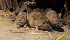 wild rats are so cute.