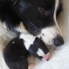 Border collie mama and pup ❤️