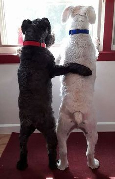 Welshie and Fox Terrier Best Puppies, Cute Puppies, Cute Dogs, Dogs And Puppies, Doggies, Fox Terriers, Chien Fox Terrier, Schnauzers, Mini Schnauzer Puppies