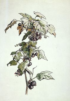 Blackcurrant Beatrix Potter, Blackcurrant, about 1905 Botanical illustrations | V