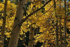 Aspen trees in fall, Colorado