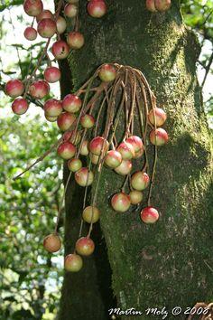 Fruto tipo cápsula. Flora Digital do Rio Grande do Sul e de Santa Catarina: Cabralea canjerana