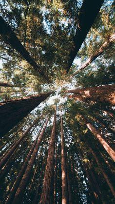Forest-Tall-Trees-iPhone-Wallpaper-iphoneswallpapers_com.jpg 844×1.500 pixels