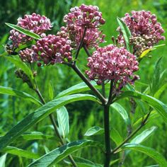 Pink swamp milkweed, Asclepias incarnata L. (Apocynaceae), a host of the monarch butterfly, Danaus plexippus Linnaeus.
