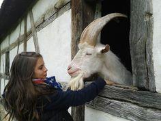 Ziegenbock , billy-goat , Hallo , 73077/4001