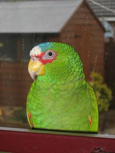 White fronted amazon  My newest rescue...16 year old Neo.