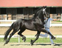 Othello, Friesian stallion