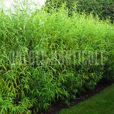 image de Salix miyabeana