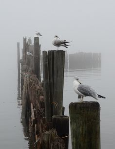 Gulls in a Row ~ love a foggy beach to walk on.