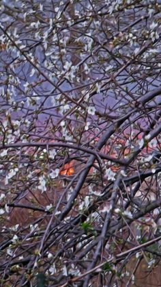 Plum blossoms at sunset after storm