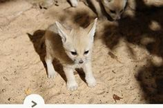 Flipagram with music by Austin Mahone - All I Ever Need All About Wolves, Panda Bebe, Fennec Fox, Pet Fox, Animal 2, Cute Images, Cute Baby Animals, Animals Beautiful, Animal Pictures