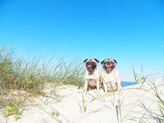 sunny pugs beach by ljcfyi