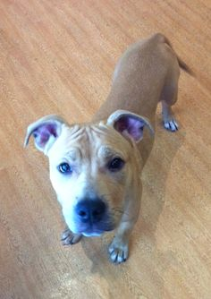 Mona, Pit Bull Terrier, 5 months, Female Mona is a precious Pit Bull Terrier mix puppy in search of her forever home! This blonde beauty came to PAWS... - Find me on pawschicago.org! please somebody give her the home that shes been waiting for