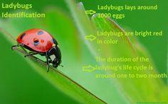 Asian Lady beetle vs. Ladybugs || Easiest Way To Identify Both !!