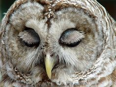 """""""The owl is the only bird to drop its upper eyelid to wink. All other birds raise their lower eyelids."""""""