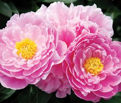 """Large, billowy, 6"""" wide blossoms of bright pink. Short and strong; excellent plant habit. Wonderful choice for the garden border. Size: 22""""..."""