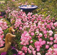 "Flower Carpet ""Pink Splash"" groundcover rose"