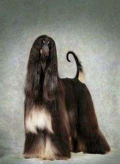 Regal Afghan Hound.  Magnificent !