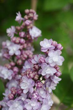 Lilac (Syringa Buchner), Keukenhof Gardens, The Netherlands. Photo: KarlGercens.com, via Flickr