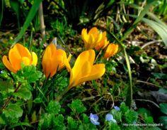 L'orto dei colori: Ancora Crocus Crocus gialli nell' #ortodeicolori  #gardenchat
