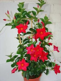 mudas de dipladênia - linda trepadeira com flores dipladêmia