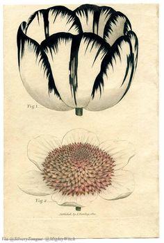 Botanical Illustration– Tulip.