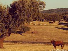Toro de lidia en Esteban Isidro #salamanca #dehesa #campocharro #toros