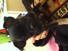 My cute lil pup I year old chuihaha
