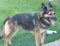 Meet Shelby, a Petfinder adoptable Australian Shepherd Dog | Aurora, IL | Shelby is a 2 year aussie/shepherd mix.  The dog is good with other dogs and people.  This dog is...