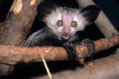 Os 10 Animais Mais Estranhos do Mundo   Natureza - TudoPorEmail    Aie-aie