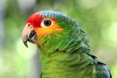Find Birds in Other! Search Gumtree Free Classified Ads for Birds and more in Other. Green Parrot Bird, Parrot Pet, Amazon Birds, Amazon Parrot, Ecuador, Senegal Parrot, Toucan, Budgies, Parrots