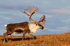 Big caribou bull, Photo by Puqsimat Qamanirq