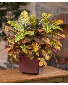 """Add a fresh new look Prized as an interior plant for its lively color, our croton is a kaleidoscope of warmth and vivacity. Various hues of green, yellow, orange, red, and burgundy add a happy aura and life to your interior decor. Arranged in a square oxblood container with complementing grass and ivy, this artificial plant design delivers amazing natural beauty as either a tabletop or a floor plant.    24"""" Height x 24"""" Width Poly Resin Conta..."""